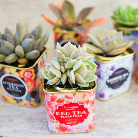 Succulents in Tea Tins